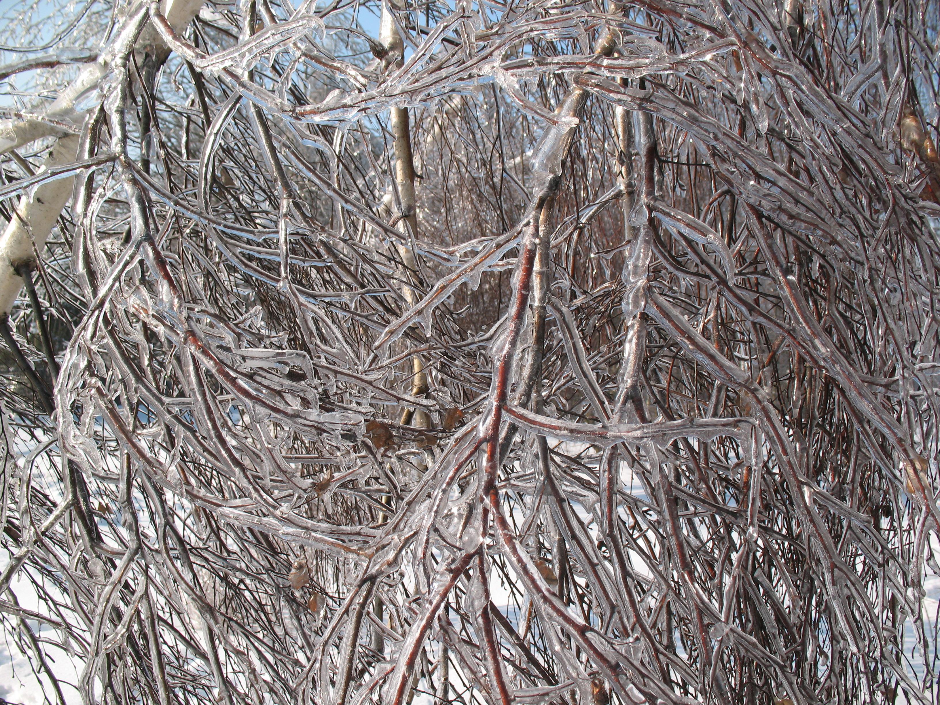 Gołoledź osadzona na gałęziach (styczeń 2013, fot. S. Wypych)