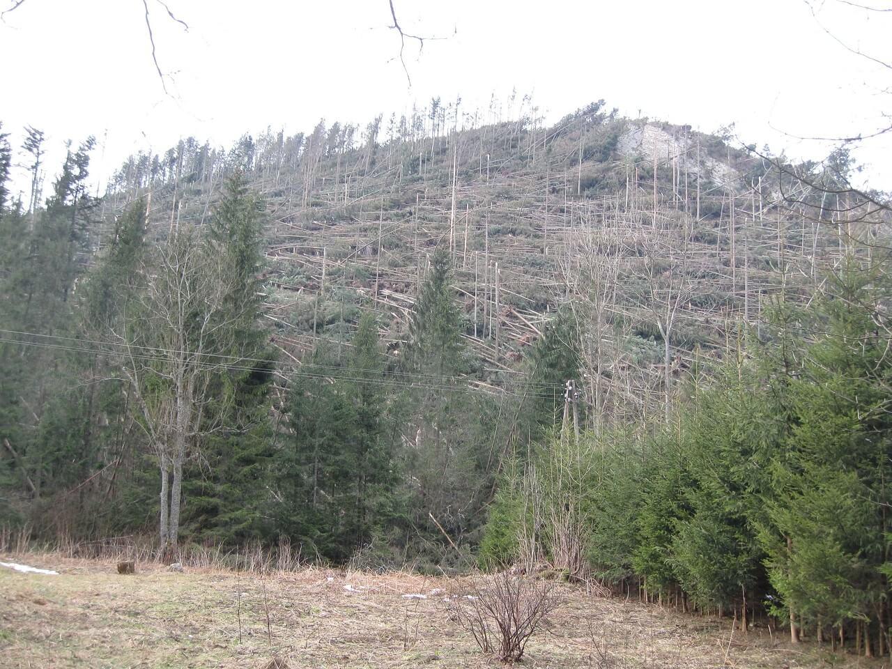 Skutki wiatru halnego w Tatrach i na Podhalu (25 XII 2013 – prędkość wiatru w porywach około 180 km/h)