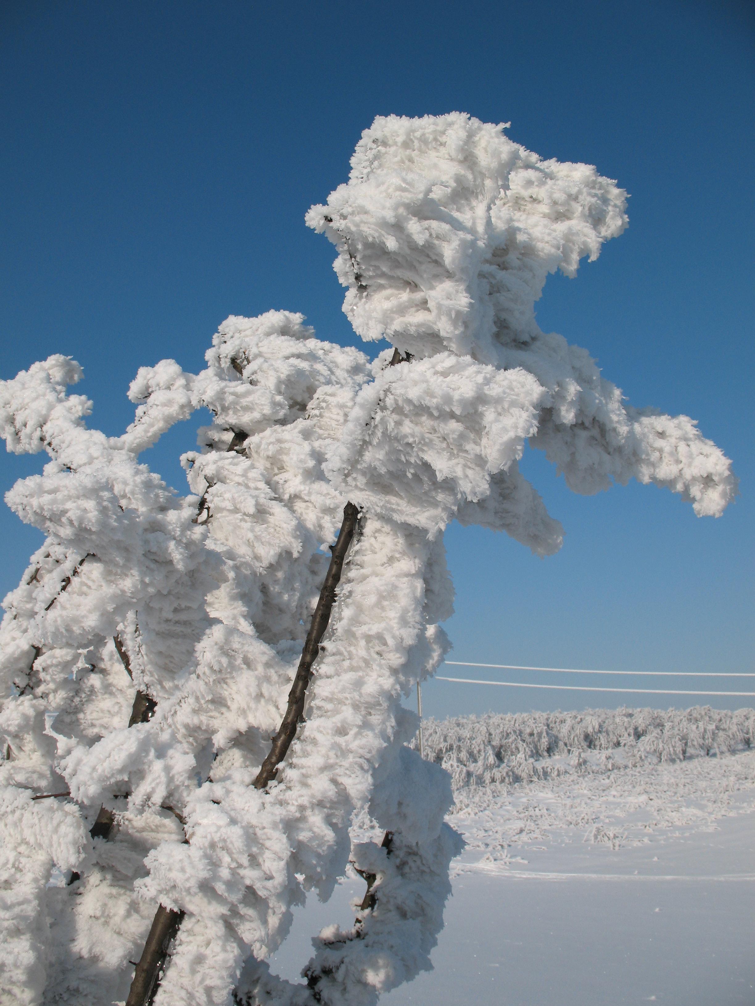 Szczotki szadzi osadzonej na gałęziach (styczeń 2010, fot. S. Wypych)